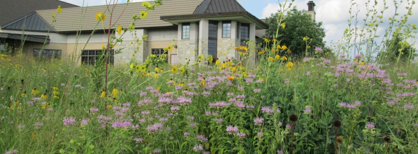 the prairie around the library in full bloom with yellow and purple flowers bursting from the foliage